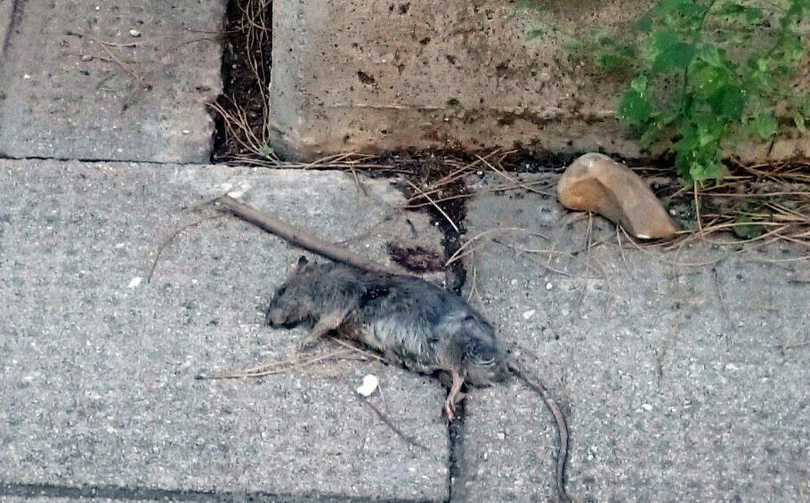 Resultado de imagen de ratas en santa cruz